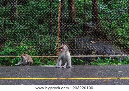 SIHANOUKVILLE CAMBODIA - 7/20/2015: Two macaque monkeys on the road in Sihanoukville.