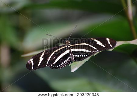 Gorgeous Image of a Zebra Butterfly Wingspan