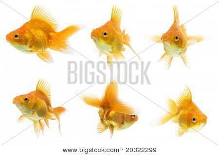 Series of red ryukin goldfish swimming against white background.
