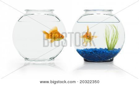 Two ryukin goldfish in contrasting fish bowls.