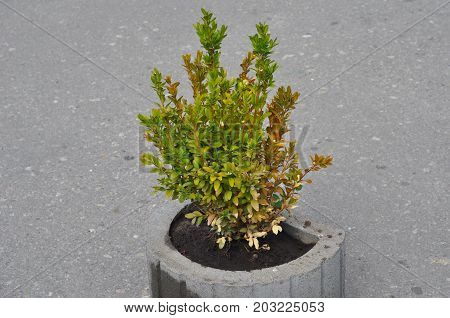 Diseased buxus. The twigs and leaves of Boxwood turn yellow and red because of the sucking damage. Boxwood illness