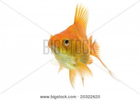 Red ryukin goldfish swimming against white background.