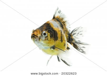 Calico ryukin goldfish swimming against white background.