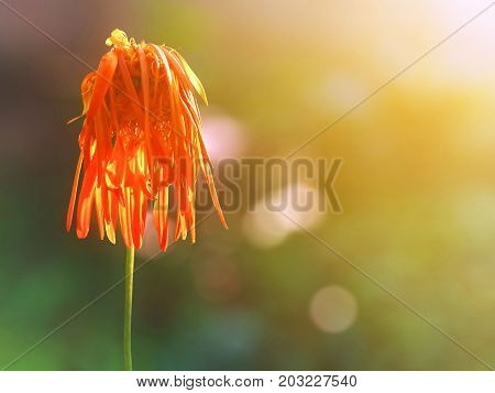 orange Chrysanthemum flower is wilting When the rain fall As people are lonely or heartbroken.