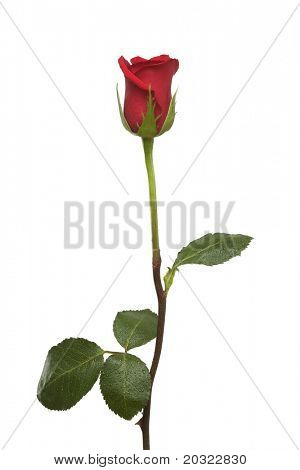 Single red rose with long stem and leaves  isolated on a white background.