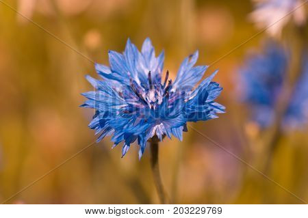Knapweed flower on a beautiful background in the field