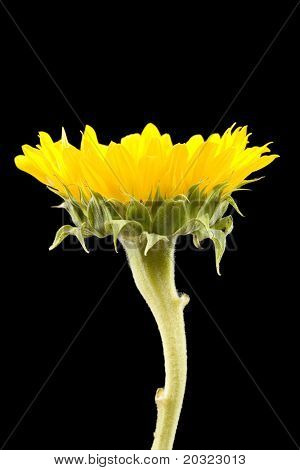 Side perspective of a yellow sunflower isolated on a black background