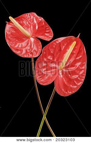 Red Anthurium flowers isolated on a black background