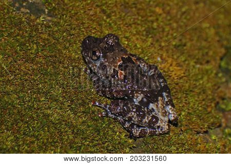 Chantaburi Warted Treefrog Theloderma Stellatum Amphibian Clods-up