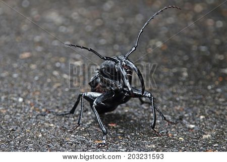 Long-horned beetle Beautiful Black insect Close up