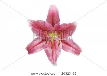 Stargazer Lily flower isolated on a white background