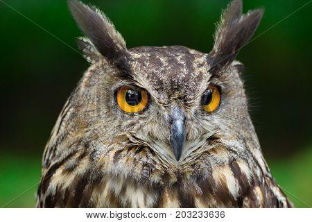 Portrait eagle-owl bubo bubo. Face popular owl.