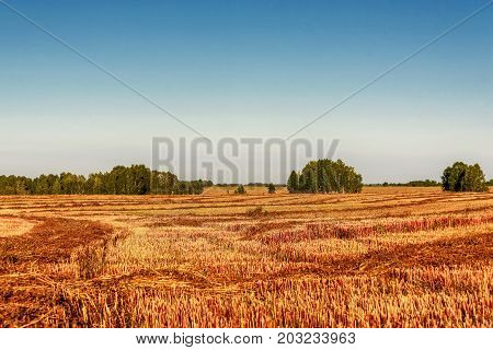 Beautiful agricultural landscape with winding brown rows of mown buckwheat straw and birches on a background of blue sky