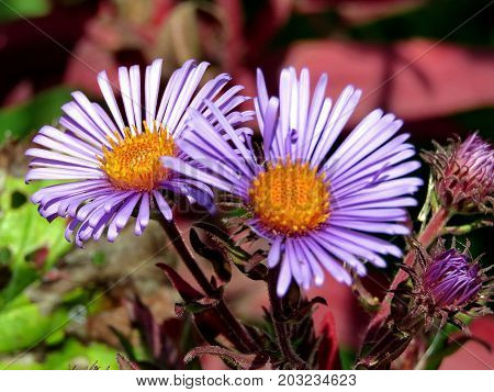 Purple daisies in forest of Thornhill Canada September 2 2017