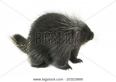 Porcupine on a white background