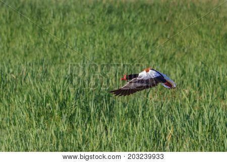 Common Shelduck (Tadorna tadorna) in flight. Danube Delta Romania