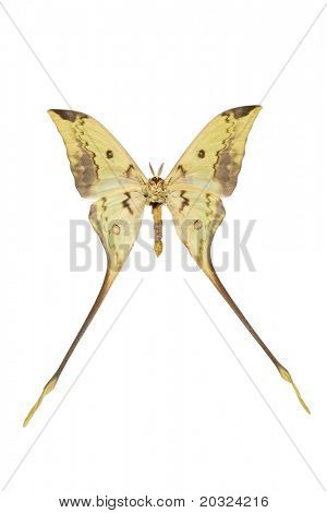 Bottom view of a giant silk moth from indonesia isolated on a white background