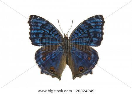 Вид сверху красивая ярко цветные Precis Rhadama бабочка из семейства Nymphalidae найдено