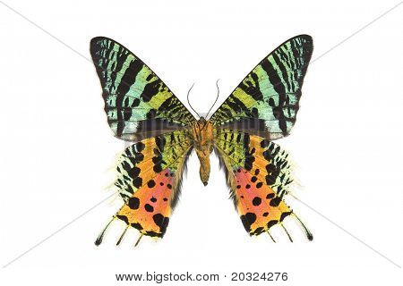 Bottom view of a  large male day flying moth from madagascar isolated on a white background
