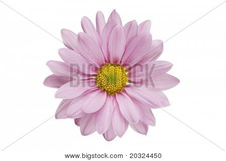 Pink daisy flower isolated on a white background