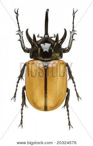 Top view of a large Rhinoceros Beetle (Eupatorus gracillicornis) from the Dynastidae family originating from Thailand
