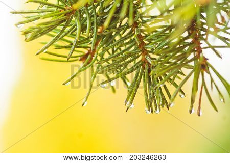 Needles of a Christmas tree with raindrops. Fir branch on a yellow background. Soft focus