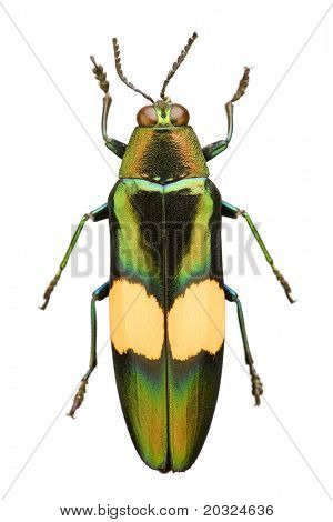 Top view of a metallic wood boring beetle (Chrysochroa saundersi) from the Buprestidae family originating from Thailand