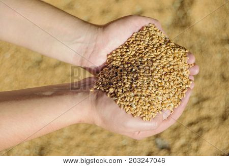Men's hands holding a heap of of ripe wheat grains against the background of spilled grains
