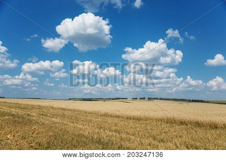 Beautiful rural landscape: a large field of golden ripe wheat and blue sky with white clouds