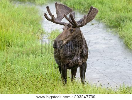 Drooling Bull Moose - Wild Shiras Moose in the Rocky Mountains of Colorado