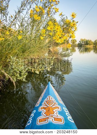Fort Collins, CO, USA - August 28, 2017: Late summer paddling on a lake in northern Colorado - a bow of racing stand up paddleboard by Starboard with the tiki logo and yellow sunflowers.
