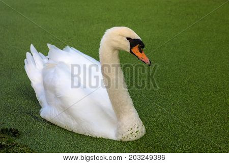 White swan on a pond overgrown with duckweed. Bird close-up.