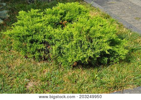 Bush of juniper the evergreen coniferous plant with scale-like leaves. Junipers are coniferous plants in the genus Juniperus of the cypress family Cupressaceae.