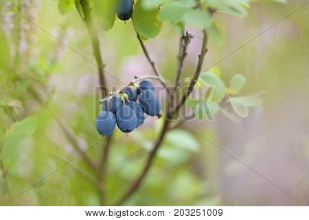Foraging Bacground With Edible Berries