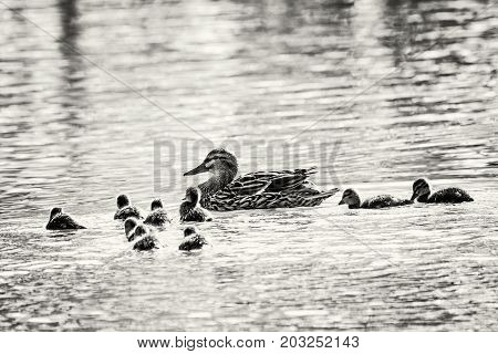 Beautiful wild Mallard duck with youngs - Anas platyrhynchos. Animal theme. Black and white photo.