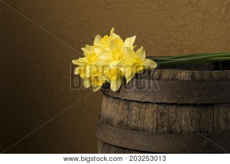 Yellow daffodils on a colored background. Easter greeting card. Daffodils on wooden background.