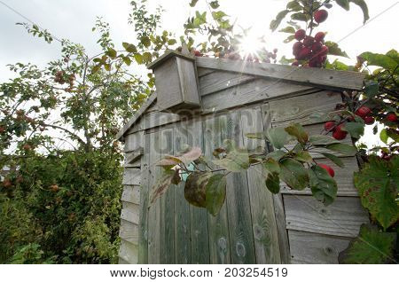 old shed overgrown with a crab apple with sun