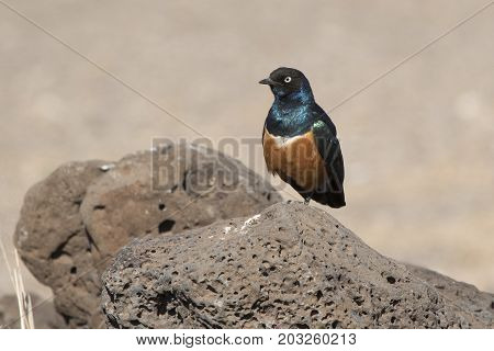 Superb starling sits on a rock in the middle of a dried savannah