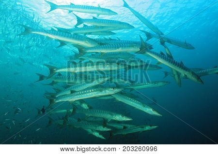 School of Blackfin Barracudas (Sphyraena qenie aka Chevron Barracuda Blacktail Barracuda). Raja Ampat Indonesia