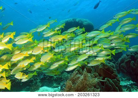 School of Snappers. Mansuar Raja Ampat Indonesia