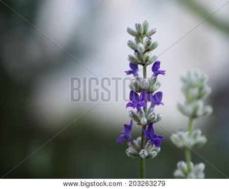 flower, nature, purple, plant, blue, green, spring, garden, lavender, flowers, summer, beauty, blossom, bloom, close-up, macro, field, flora, petal, blooming, violet, herb, natural, leaf, color