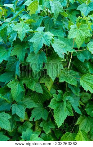 Branches with fresh green foliage. The bush of aromatic currant