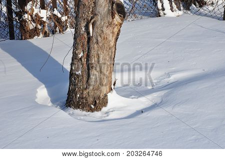 Bad example. Apple tree roots without enough snow cover insulation