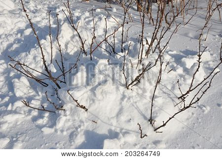 Currant bush covered with snow to insulate bush in frosty winter