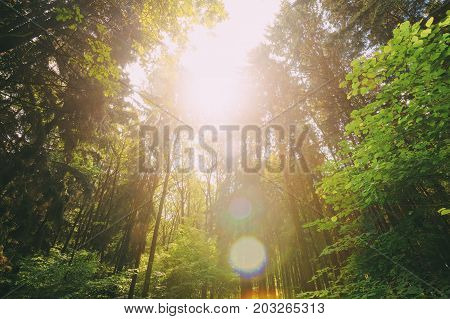 Sun Shining In Summer Forest Through Canopy Of Tall Trees. Looking Up In Summer Mixed Forest Trees Woods To Canopy. Bottom View Wide Angle Background. Pine Forest.