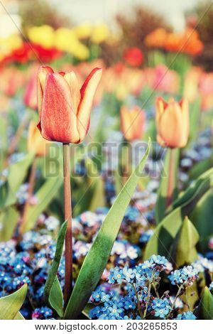 Red tulips and blue forget-me-not flowers planted in the park. Springtime scene. Beauty photo filter.
