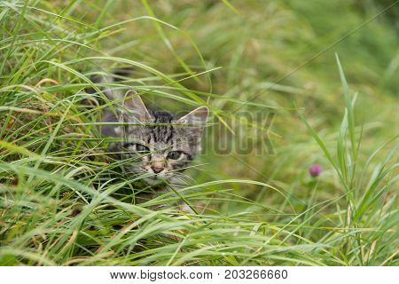 small kitten creeps in the meadow around