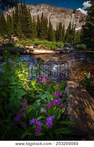 Parry's Primrose Primula Parryi Mitchell Lake's Inlet At The Base Of Mt Audubon