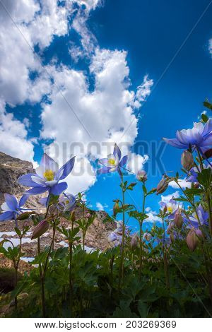 Colorado Columbine Aquilegia Caerulea Blue Lake