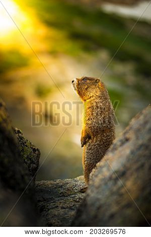 Yellow-bellied marmot standing up in the sun profile